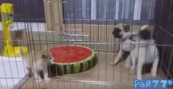 Котёнок заставил двух поверг в панику двух мопсов