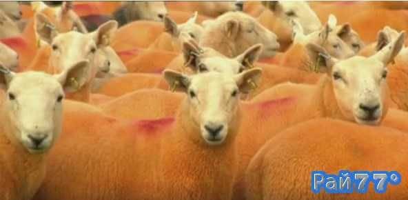 Оранжевые овцы пасутся на британской ферме