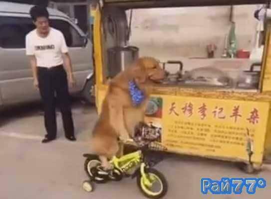 Собака на велосипеде доставляет еду своему хозяину в Китае
