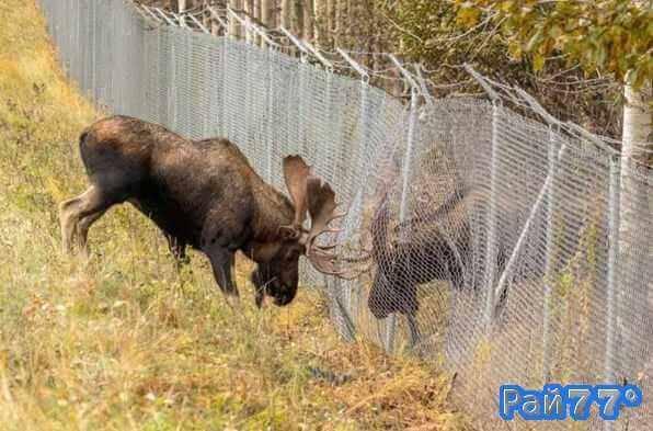 Лоси несколько часов делили самку в заповеднике Аляски