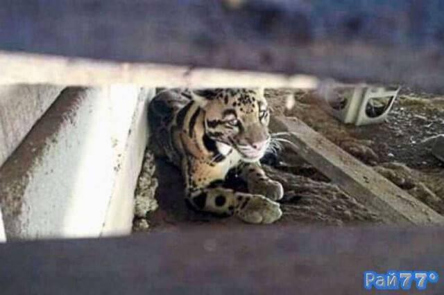 Жители малайзийской деревни обнаружили редкого леопарда под своим домом