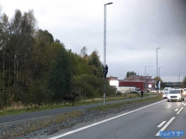 Швед спрятался от лося на фонарном столбе