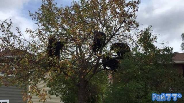 Медведица и три медвежонка забрались на яблоню в Канаде