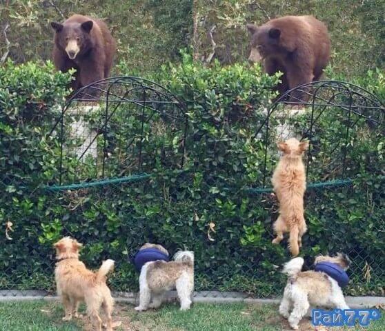 Медведь - гоизли получил отпор от двух маленьких собак
