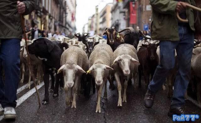 Овцы прошагали по улицам Мадрида