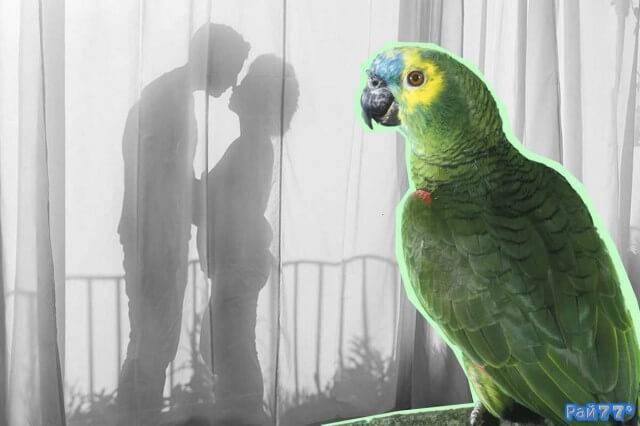 Попугай озвучил романтическую сцену ревнивой жене в Кувейте