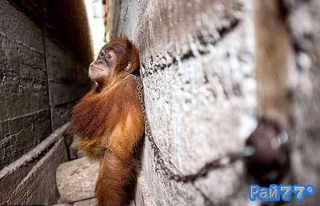 Спасатели освободили орангутанга, прикованного к стене