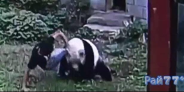 Панда поборола китайского туриста, забравшегося к ней в вольер