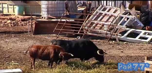 Боевые быки охраняют автосвалку в Испании