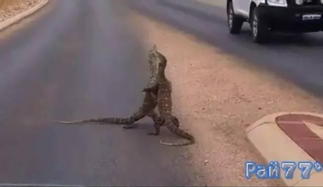 Вараны подрались прямо посередине дороги в Австралии