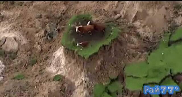 Три коровы остались на крошечном пятачке холма после оползня в Новой Зеландии