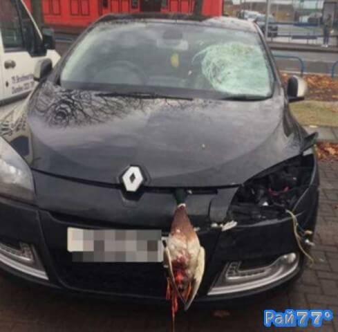 Автомобиль с мёртвой уткой под капотом обнаружили в Шотландии