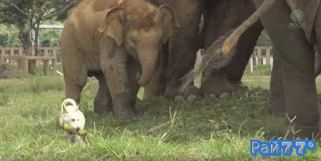 Собака украла банановую палку у слонов