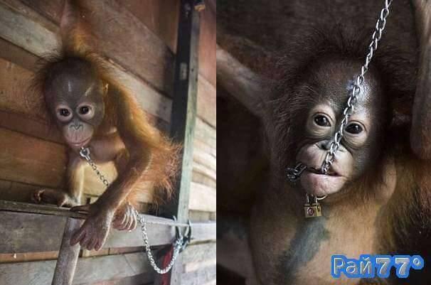 Детёныша орангутанга, просидевшего полгода на цепи и развлекающего детей освободили в Индонезии.