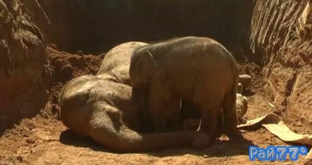 Слонёнок предпринял попытка вытащить из ямы свою мать