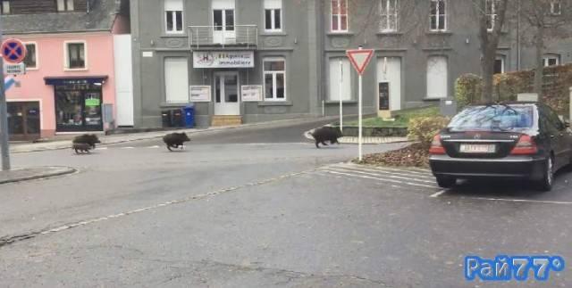 Дикие кабаны затерроризировали жителей маленькой деревни в Люксембурге