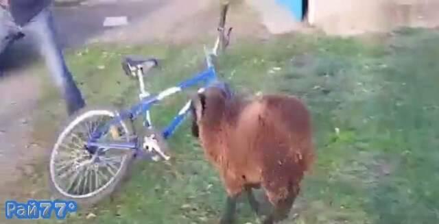 Баран напал на велосипедиста во Франции