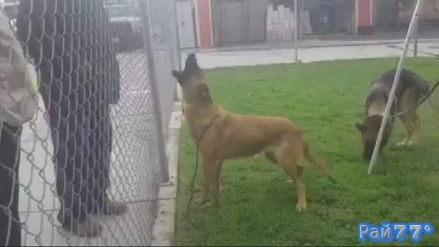 Душераздирающая картина, снятая в собачьем питомнике во время встречи пса со своими хозяевами.