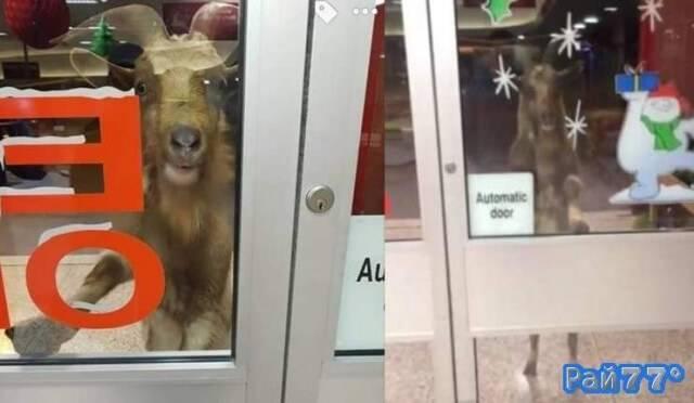 Буйный козёл бъявил охоту на покупателей в ирландском супермаркете