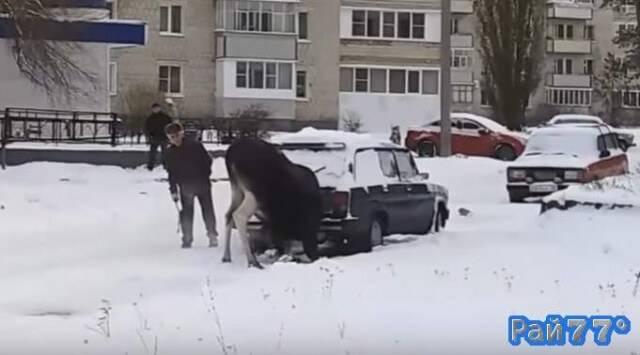 Лось - токсикоман, вдыхающий пары из выхлопной трубы автомобиля был замечен в Пензе. (Видео)