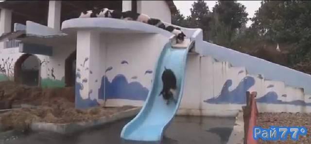 Китайский фермер построил водный аттракцион для свиней.
