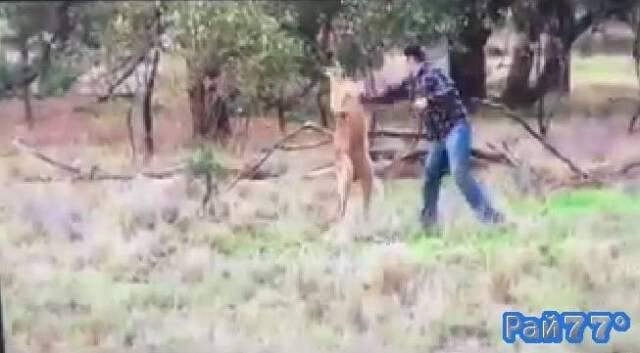 Боксёрский поединок между человеком и кенгуру произошёл в Австралии