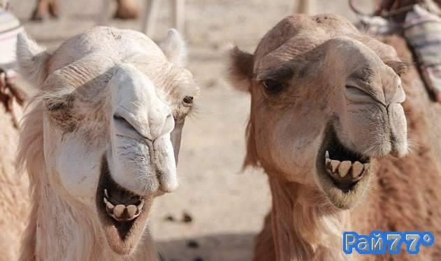 В Иране верблюдов приравняют к автомобилям