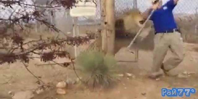 Хранитель американского зоопарка был застигнут врасплох во время экскурсии к вольеру со львом
