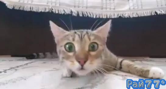 Эмоциональная кошка стала новой звездой интернета. (Видео)