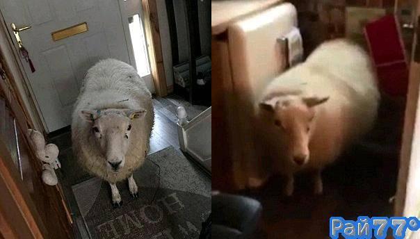 Упрямая овца «скрасила» досуг жителям частного владения в Шотландии. (Видео)