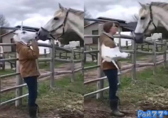 Девушка, одев маску кобылы жестоко разыграла жеребца на ферме. (Видео)