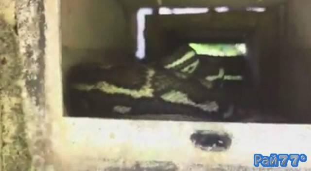 Австралиец обнаружил питона в своём почтовом ящике. (Видео)