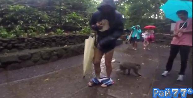 Наглый шимпанзе снял шорты с посетителя заповедника на Бали. (Видео)