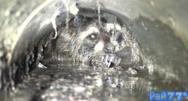 Енот, застрявший в дренажной трубе был спасён спустя 20 часов в Калифорнии. (Видео)