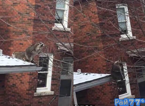 Толстый енот не смог спуститься по дереву в Онтарио. (Видео)