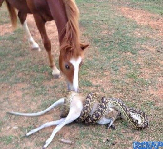 Питон проглотил валлаби на глазах шокированной лошади.
