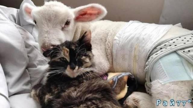 Кошка выходила брошенного ягнёнка в Канаде. (Видео)