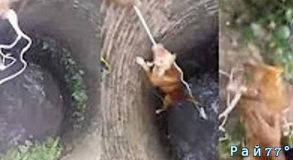 Операция по вызволению собаки, упавшей в глубокий колодец была проведена в Тайланде. (Видео)