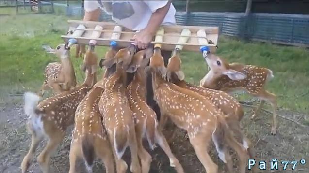 Процесс кормления стада оленят на ферме в США привлёк внимание многочисленных любителей дикой природы. (Видео)