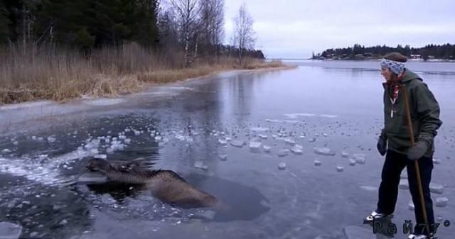 Шведские фигуристы спасли, провалившегося в полынью лося. (Видео)