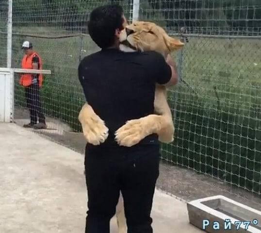 154-килограммовая львица бросилась в объятья смотрителя на свой день рождения. (Видео)