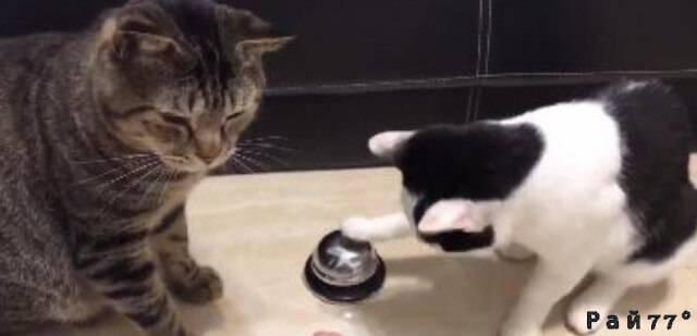 Две кошки и колокольчик или, как владелец животных приучил их к «хорошим манерам». (Видео)