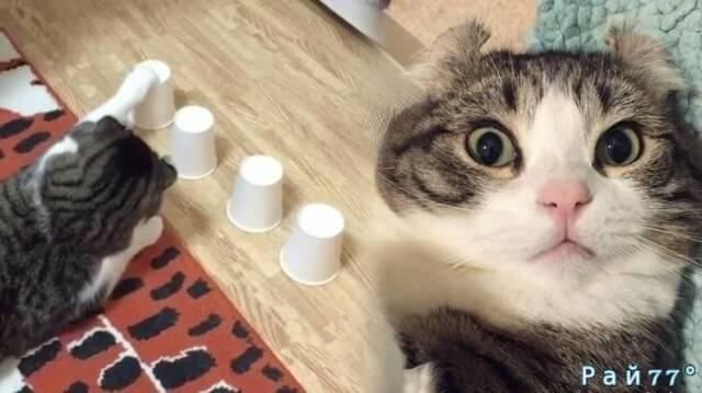 Кошка - «напёрсточница» покорила интернет в Японии. (Видео)