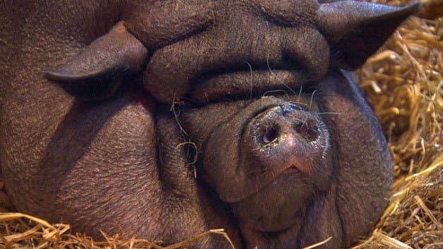 В США посадили на диету сильно разжиревшую свинью. (Видео)