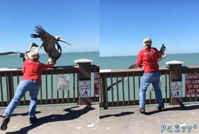Американец спас от неминуемой смерти пеликана, освободив клюв птицы от намотавшейся лески. (Видео)