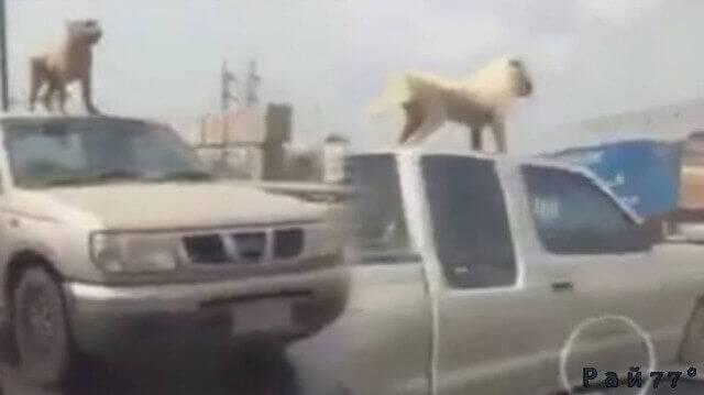 Смелая собака прокатилась на крыше внедорожника в Китае. (Видео)