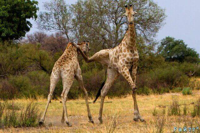 Два жирафа не поделили территорию заповедника в Южной Африке. (Видео)