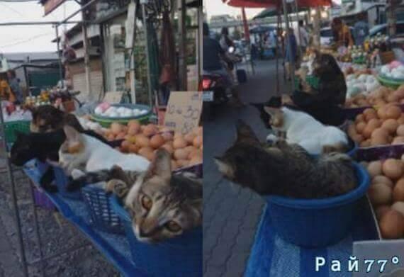Четыре кошки на «боевом посту» или необычная «Pr - компания» уличного торговца в Тайланде. (Видео)
