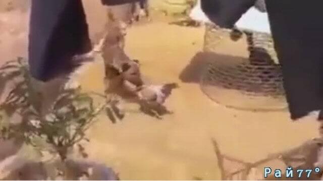 Собака спаслась бегством при попытке разнять двух дерущихся петухов. (Видео)