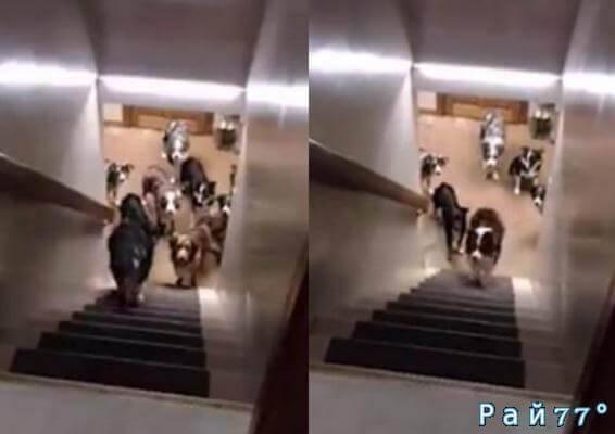Собачья дисциплина. Хозяйка животных приучила своих питомцев правильно подниматься по лестнице. (Видео)